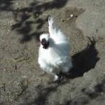 gallo-cinese 2