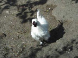 Gallo moroseta
